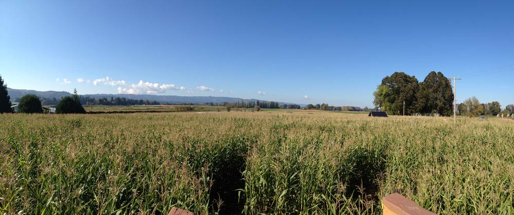 Corn Field Panorama