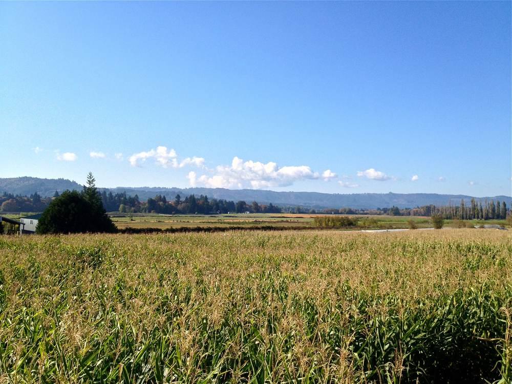 Corn Field and Pumpkins