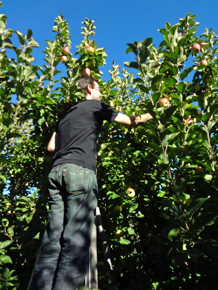 Daniel Apple Picking On Ladder