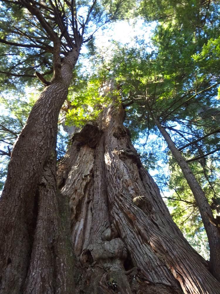 Cedar Tree Reserve