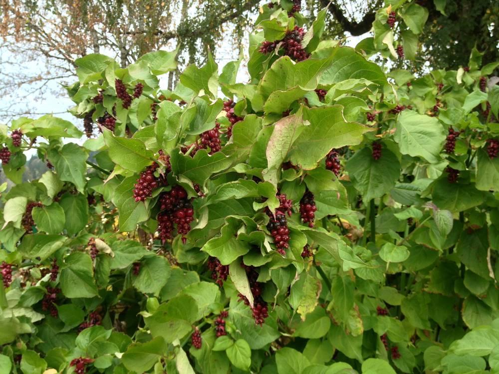 David Hill Vineyard Grapes
